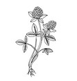 doodle clover medicinal plant black outline vector image vector image