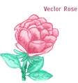 Gentle watercolor rose vector image vector image