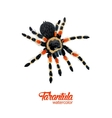 Watercolor spider tarantula vector image vector image