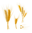 realistic detailed color wheat ear vector image