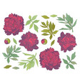 set of hand drawn peony flowers and herbs vintage vector image vector image