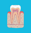 healthy tooth diagram tooth cross section and vector image vector image