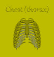 human organ icon in flat style chest thorax vector image