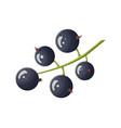 bunch of black currant berry isolated on white vector image