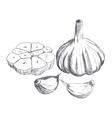 Hand drawn raw garlic sketch vector image vector image