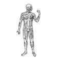 human anatomy muscular and bone system male body vector image vector image