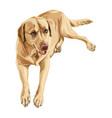 labrador retriever yellow vector image