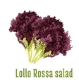 Lollo Rossa salad vegetable icon vector image