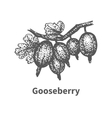 Sketch gooseberry with leaves and branches vector image