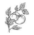 tomato engraving vector image