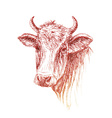 Face of Cow hand drawn on white background vector image