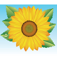 sunflower with drop of water vector image
