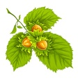 Hazelnuts on green leaves vector image