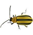 Black Yellow Beetle vector image vector image