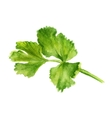 leaf of coriander vector image