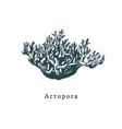 acropora coral drawing of sea vector image vector image