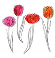 drawing flowers of tulip vector image