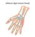 medical superficial muscle hand and vector image vector image