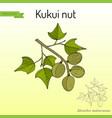 kukui nut aleurites moluccanus medicinal plant vector image vector image