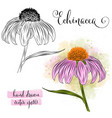 botanical art watercolor echinacea flower vector image vector image