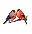A pair beautiful winter birds bullfinches on