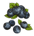blueberries bilberry vector image