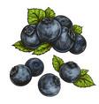 blueberries bilberry vector image vector image