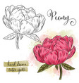 botanical art watercolor peony flower vector image