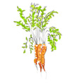illustration of carrot vector image