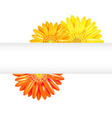 Yellow And Orange Gerbers With Banner vector image