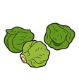 color vegetables brussels sprouts vector image vector image