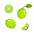 lime with green leaves and slices isolated on vector image vector image