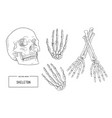 human skeleton sketch vector image