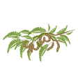 Fresh Brown Tamarind Pods on Tree Branch vector image vector image