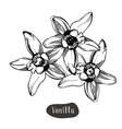 vanilla flower isolated on the white background vector image vector image