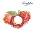 Rambutan vector image vector image