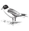 great black headed gull vintage vector image vector image
