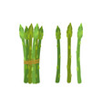 green asparagus butch ripe asparagus sprout vector image vector image