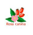 dog rose on white background vector image