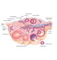 Human Ovary vector image vector image