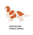 blenheim cavalier king charles spaniel cute vector image vector image