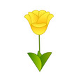 flat yellow tulip flower isolated on white vector image