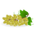 grape isolated vector image