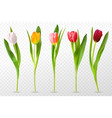 colorful tulips beautiful tulip buds spring vector image