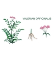 VALERIAN OFFICINALIS vector image