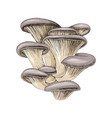 hand drawn oyster mushrooms vector image vector image