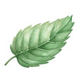 isolated watercolor green plant leaf deocration vector image vector image