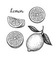 hand drawn lemon set vector image