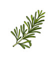 rosemary spice and medical herb vector image