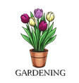 tulips in a pot vector image vector image